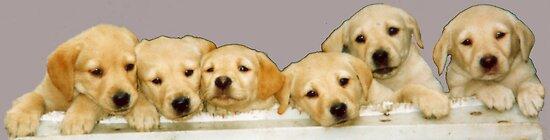 Labrador Pups by countrypix