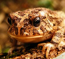 Guttural toad   (Bufo gutturalis ) by photowes