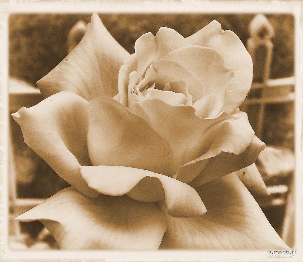 Peace Rose by nursestuff