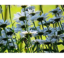 End of Summer, White Daisies II  (1407070407VA) Photographic Print