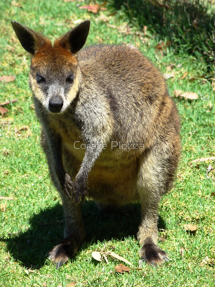 Wallaby by Coralie Plozza