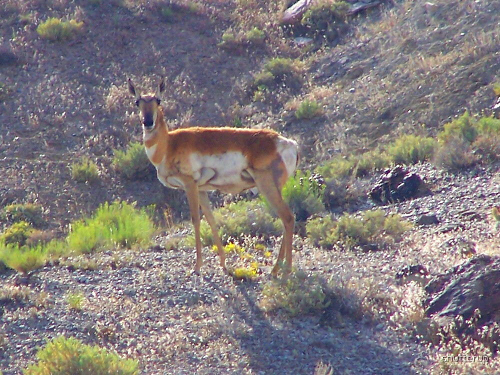 Antelope by shutterup