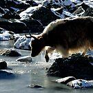 Yak in snow in Lobuche by MichaelBr