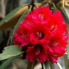 Rhododendron by MichaelBr