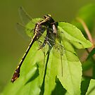Dragonfly by photomama4