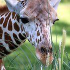 Peeping Giraffe by Paul Baker
