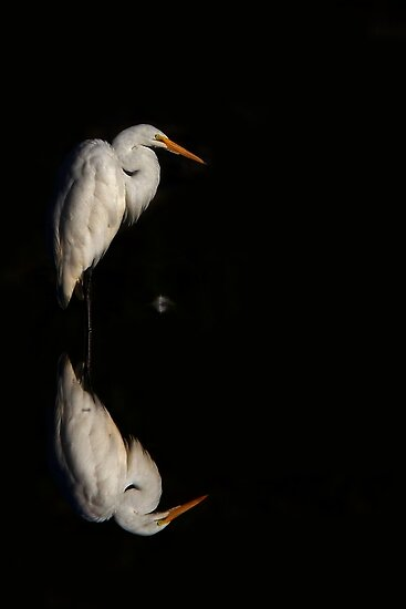 Feather - Great Egret by Jim Cumming