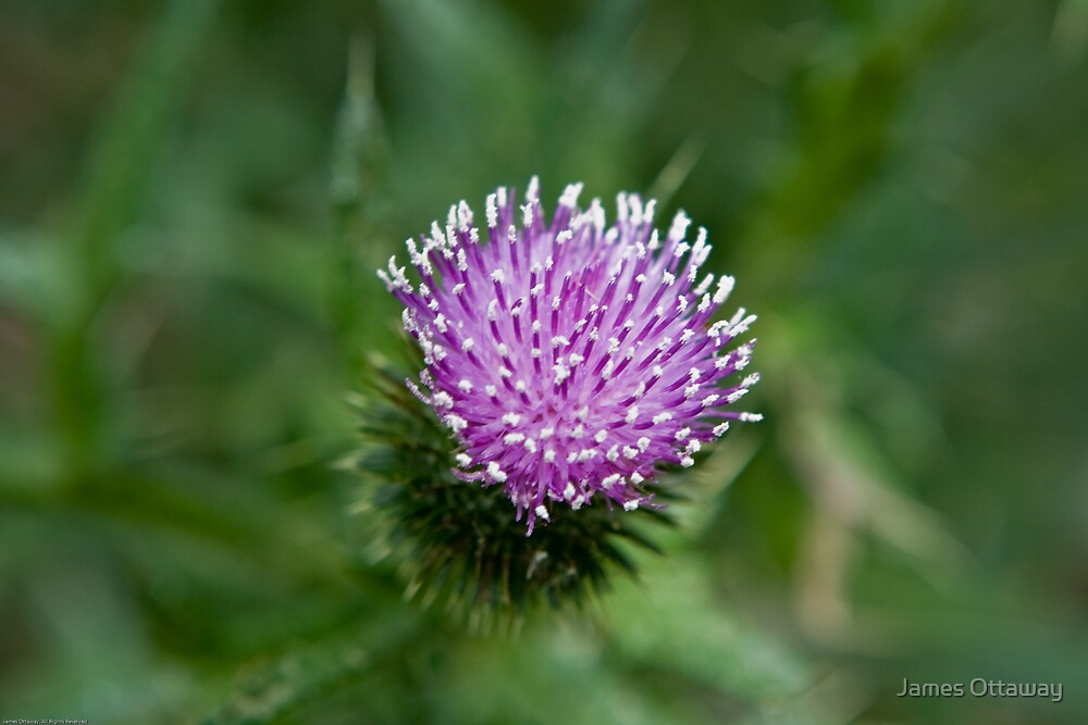 Scotch Thistle by James Ottaway