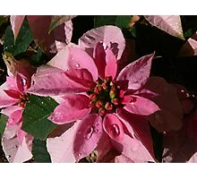 A Poinsettia Photographic Print