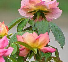 Raindrops on Roses  (1407111541VA)   by photroen