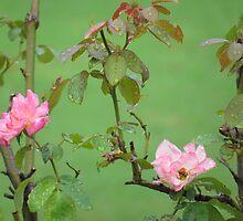 Raindrops on Roses (1407111545VA) by photroen