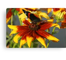 Admiral butterfly on Rudbekia Canvas Print