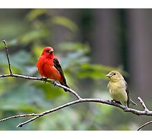 Mr & Mrs Scarlet Tanager Photographic Print