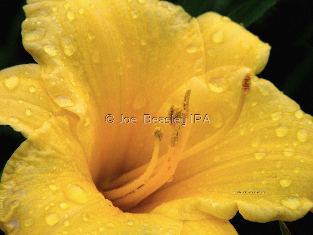 Raindrops on a Yellow Lily by © Joe  Beasley IPA