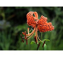 Panther Lily Photographic Print