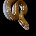 African House Snake by Phoenixcry