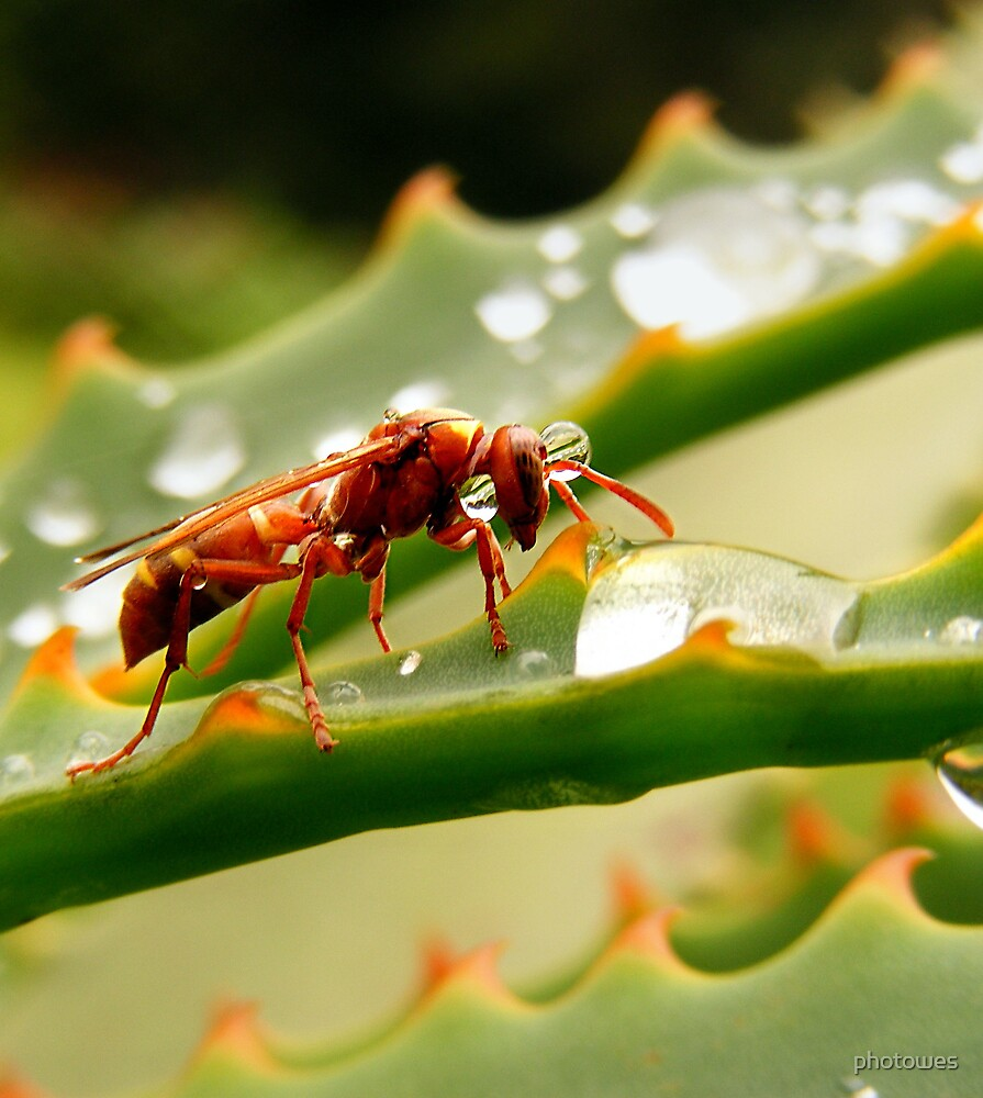 Hornet drinking from a rain drop (Polistes fastidiotus) by photowes