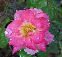 Raindrops on Roses   (1407122149VA) by photroen