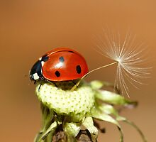 Ladybird and Dandelion Seed by DollyDoLittle