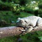 Green Tree Frog by Bine