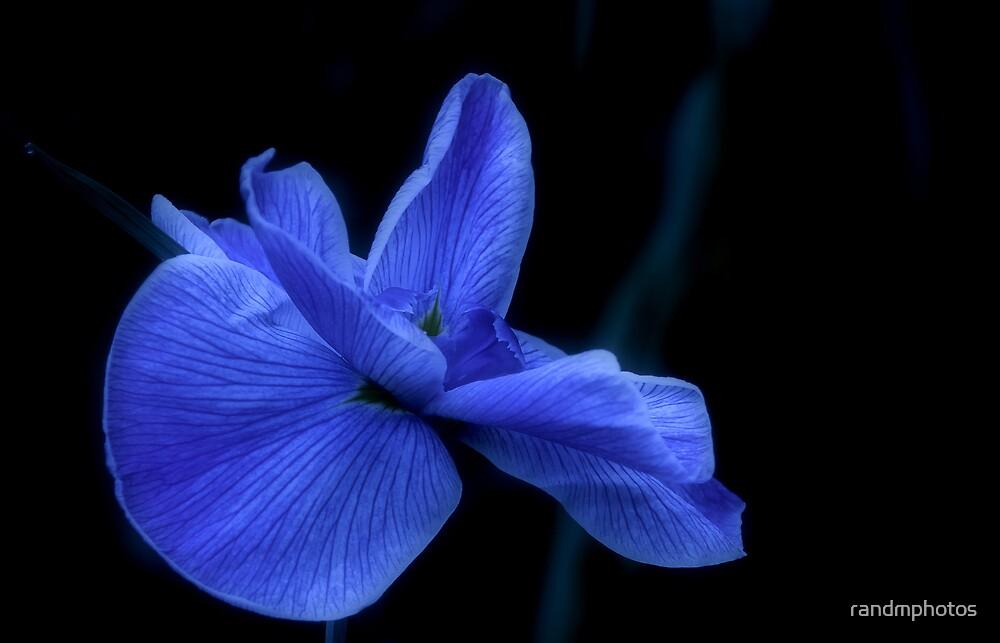Moonlit Water Iris by randmphotos