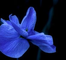 Moonlit Water Iris by randmphotos