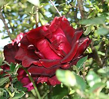 Red Rose by cornwallphotos
