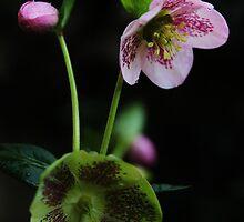 Helleborus Orientalis. by Jeanette Varcoe.