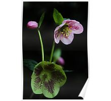 Helleborus Orientalis. Poster