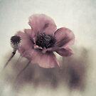 Dusty pink poppy by Priska Wettstein