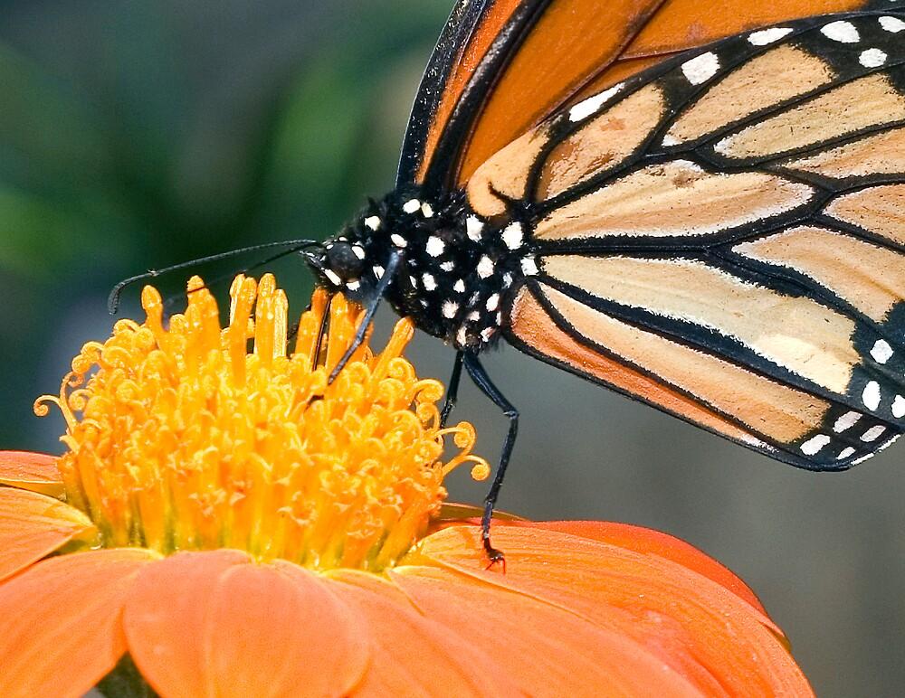 Monarch Butterfly sip nectar from a Daisy flower by Eyal Nahmias