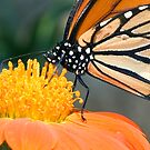 Monarch Butterfly sip nectar from a Daisy flower by Eyal Nahmias