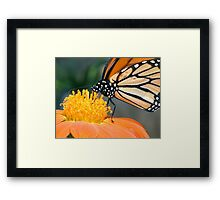 Monarch Butterfly sip nectar from a Daisy flower Framed Print