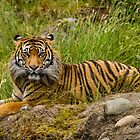 A Sumatran Tiger Rests in the Grass by journeysincolor