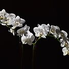 White Orchid by rrushton