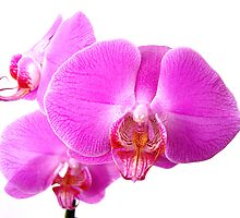 Orchid by Mindmonkey