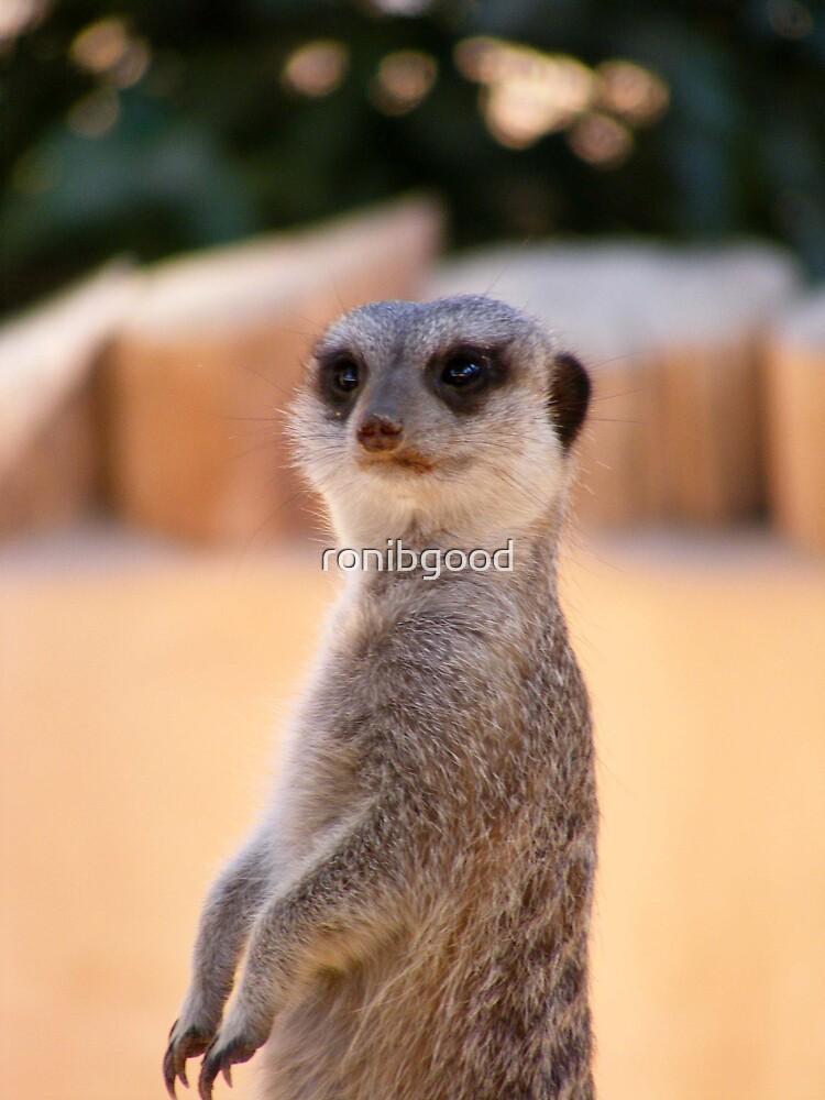 Meerkat by ronibgood