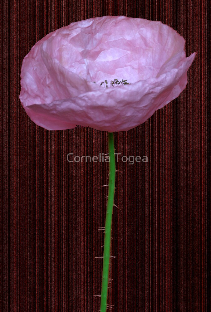 pink poppy by Cornelia Togea