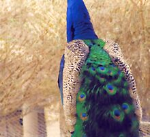 peacock by isaacguy