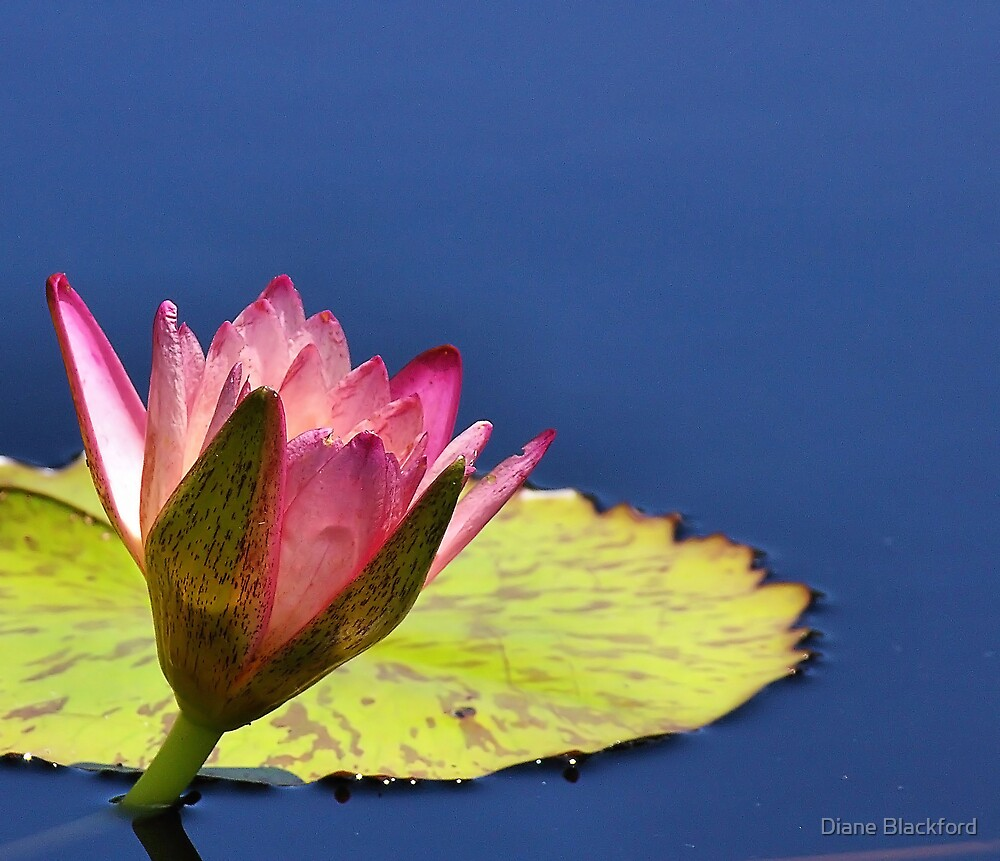 Fuchsia Lily by Diane Blackford