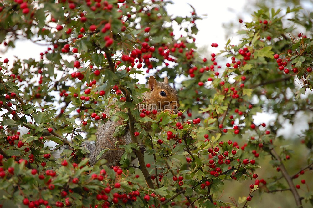 Grey Squirrel, Red Berries by pjm123