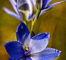 Blue Lady Orchid by Paul Amyes