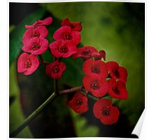 Red euphorbia Poster