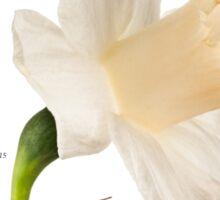Narcissus 'Mount Hood' Sticker