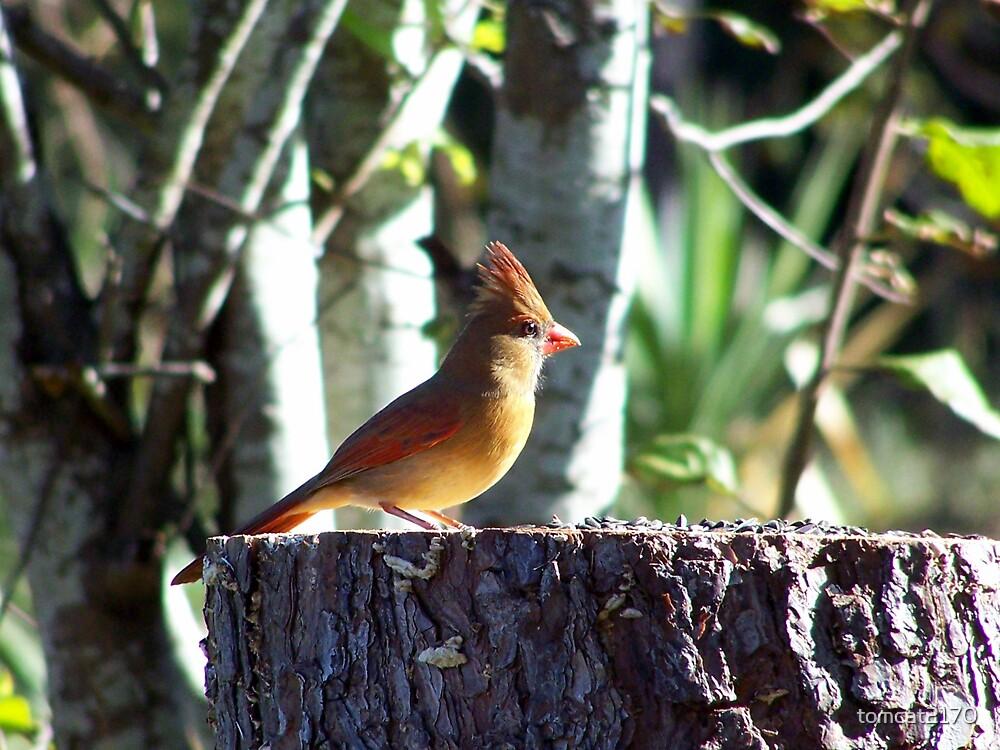 female cardinal by tomcat2170
