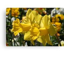 Smiling Daffodils Canvas Print