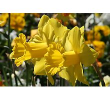 Smiling Daffodils Photographic Print