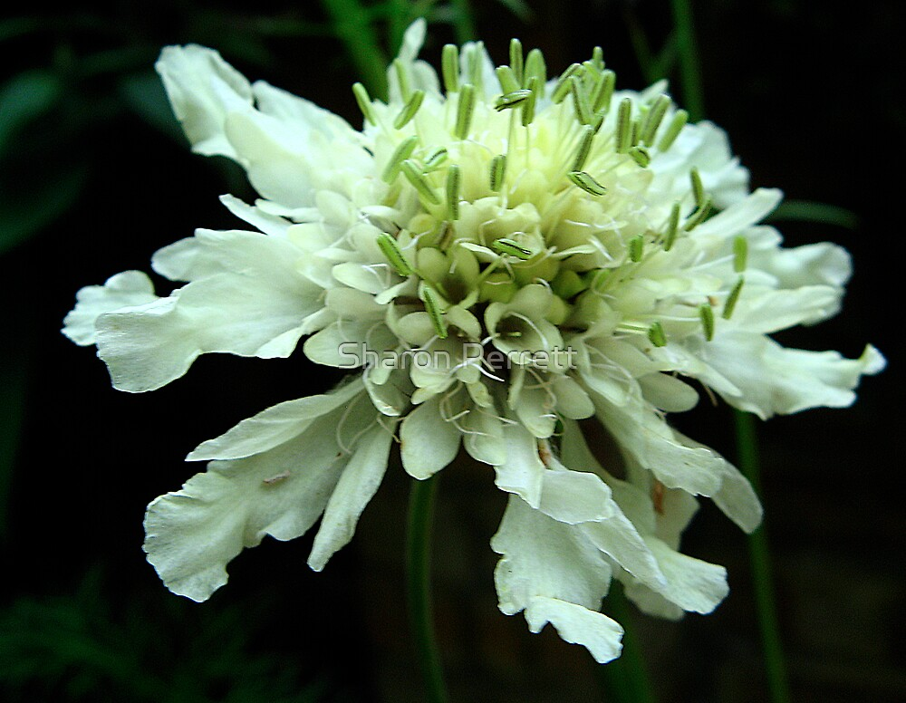 Scabious by Sharon Perrett