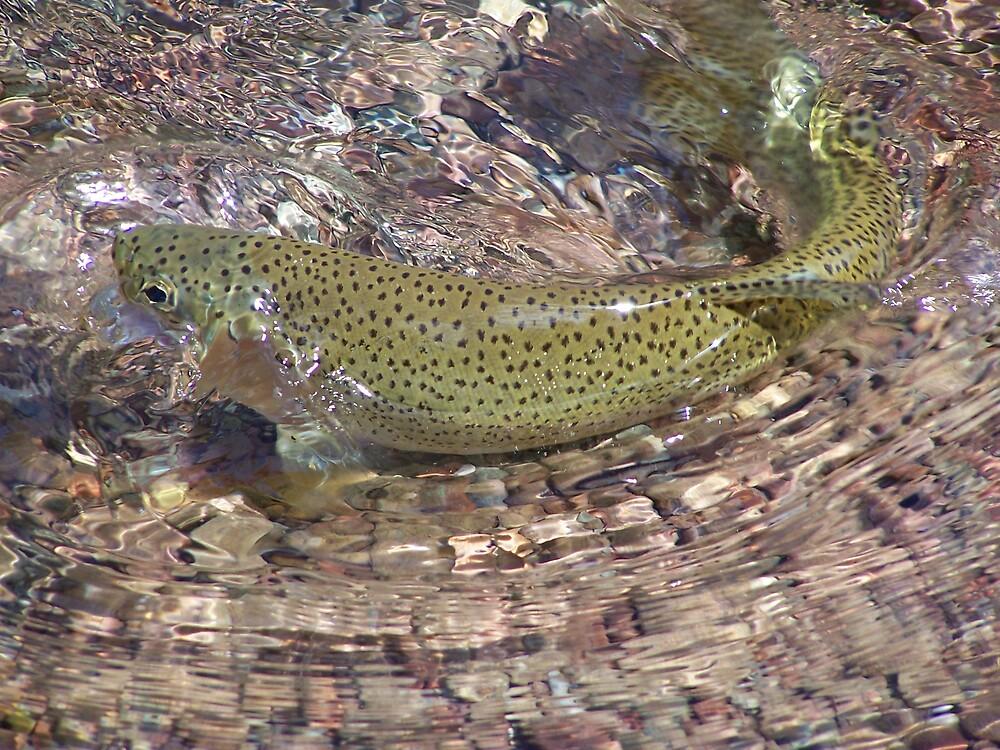 Montana Trout by montana16