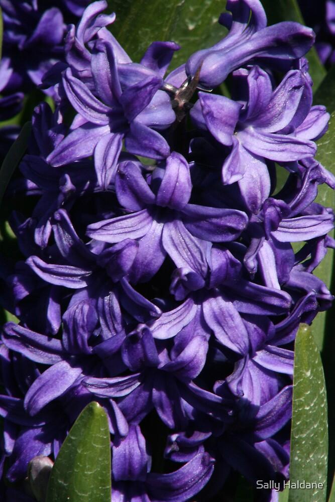 Hyacinth Royale by Sally Haldane